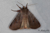 Rödhuvat skogsfly - Cousin German (Protolampra sobrina)