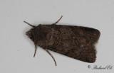 Svart jordfly - Garden Dart (Euxoa nigricans)