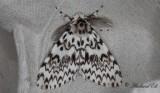 Barrskogsnunna - Black Arches (Lymantria monacha)