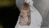 Tvärlinjerat jordfly - Six-striped Rustic (Xestia sexstrigata)