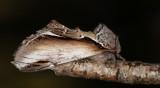 Björkporslinsvinge - Lesser Swallow Prominent (Pheosia gnoma)