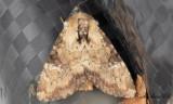 Gulhalsat ängsfly - Slender Brindle (Apamea scolopacina)