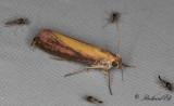 Käringtandsmott - Oncocera semirubella