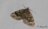 Mossgrön fältmätare - Beech-green Carpet (Colostygia olivata)