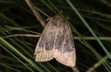 Poppelbuskfly (Amphipyra perflua)