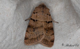 Punktjordfly - Plain Clay (Eugnorisma depuncta)