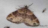 Roströd fältmätare - Dark-barred Twin-spot Carpet (Xanthorhoe ferrugata)