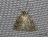 Sommargyllensmott - Evergestis pallidata