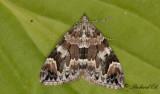 Spetsvinklad fältmätare - Dark Marbled Carpet (Dysstroma citrata)