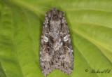 Större skogsfly - Great Brocade (Eurois occulta)