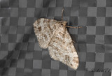 Tvillingfläckad fältmätare - Twin-spot Carpet (Mesotype didymata)
