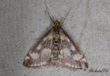 Purpurljusmott (Pyrausta purpuralis)