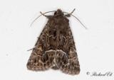 Borstfly - Straw Underwing (Thalpophila matura)