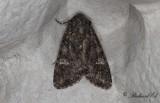 Kålfly - Cabbage Moth (Mamestra brassicae)