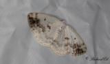 Bandatlasmätare - Clouded Silver (Lomographa temerata)