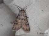 Sädesbroddsfly - Turnip Moth (Agrotis segetum)