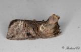 Grönvitt Nässelfly - Spectacle (Abrostola tripartita)