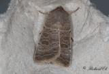 Ljusringat lövfly - Vine's Rustic (Hoplodrina ambigua)