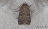 Gulfläckigt jordfly - Square-spot Rustic (Xestia xanthographa)