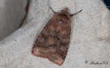Hallonjordfly - Small Square-spot (Diarsia rubi)