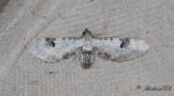 Klintmalmätare - Lime-Speck Pug (Eupithecia centaureata)