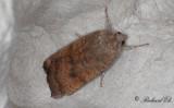 Rödbrunt bandfly - Least Yellow Underwing (Noctua interjecta)