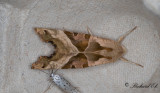 Tandfly - Angle Shades (Phlogophora meticulosa)