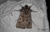 Vitribbat fältfly - Feathered Gothic (Tholera decimalis)