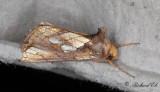 Gulbrunt metallfly - Gold Spot (Plusia festucae)