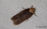 Tvåfärgad morotsplattmal - Purple Carrot-seed Moth (Depressaria depressana)
