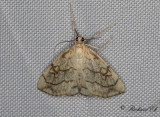 Sommargyllensmott - Purple-Backed Cabbageworm (Evergestis pallidata)