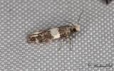 Svartvit böjmal - Lesser Budmoth (Recurvaria leucatella)