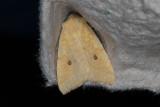 Blekgult gulvingsfly - Sallow (Cirrhia icteritia)