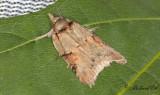 Poppelfotsläpare - Eastern Nycteoline (Nycteola asiatica)