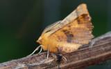 Höstflikmätare - Large Thorn (Ennomos autumnaria)