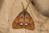Aprikostofsspinnare - Rusty Tussock Moth (Orgyia antiqua)