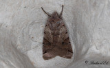 Kantfläckigt backfly - Brown-spot Pinion (Agrochola litura)