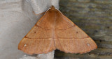 Spinnarmätare - Feathered Thorn (Colotois pennaria)