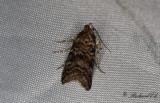 Tallbarksmott - New Pine Knot-horn (Dioryctria sylvestrella)