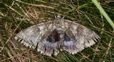 Blåbandat ordensfly - Blue Underwing (Catocala fraxini)