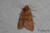 Gulrött backfly - Flounced Chestnut (Agrochola helvola)