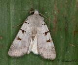 Ljusgrått jordfly - Autumnal Rustic (Eugnorisma glareosa)