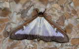 Buxbomsmott - Box-tree Moth (Cydalima perspectalis)
