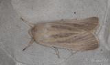 Dyfly - Large Wainscot (Rhizedra lutosa)