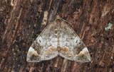 Trubbvinklad fältmätare - Common Marbled Carpet (Dysstroma truncata)