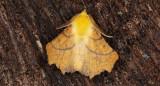 Alflikmätare - Canary-shouldered Thorn (Ennomos alniaria)