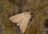 Äggult gräsfly - The Delicate (Mythimna vitellina)