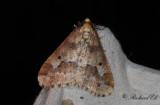 Lindmätare - Mottled Umber (Erannis defoliaria)