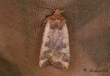 Gulhövdat plattfly - Red-headed Chestnut (Conistra erythrocephala)