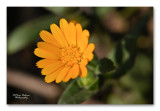 akkergoudsbloem - Calendula arvensis